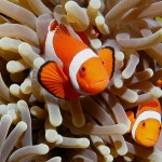 clown-fish-image